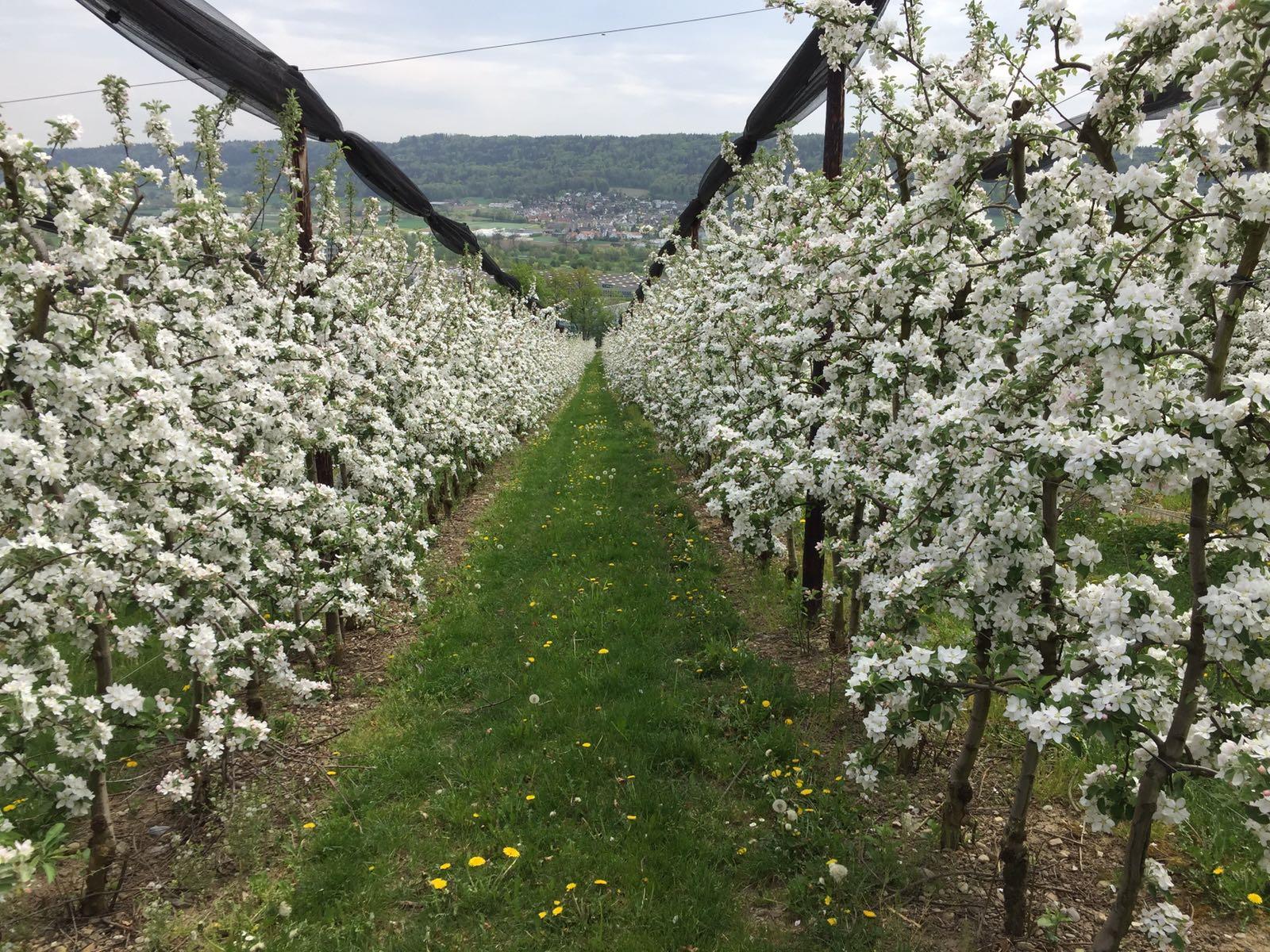 Apfelblüte reihe [1]