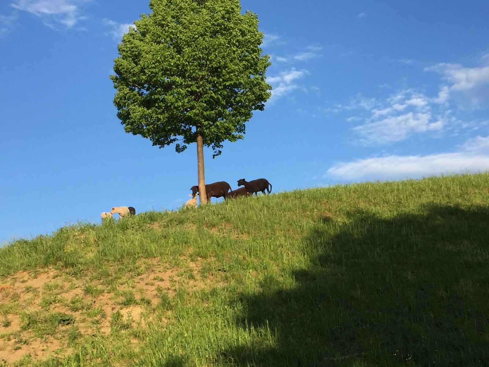Schafe am hügel mit baum0