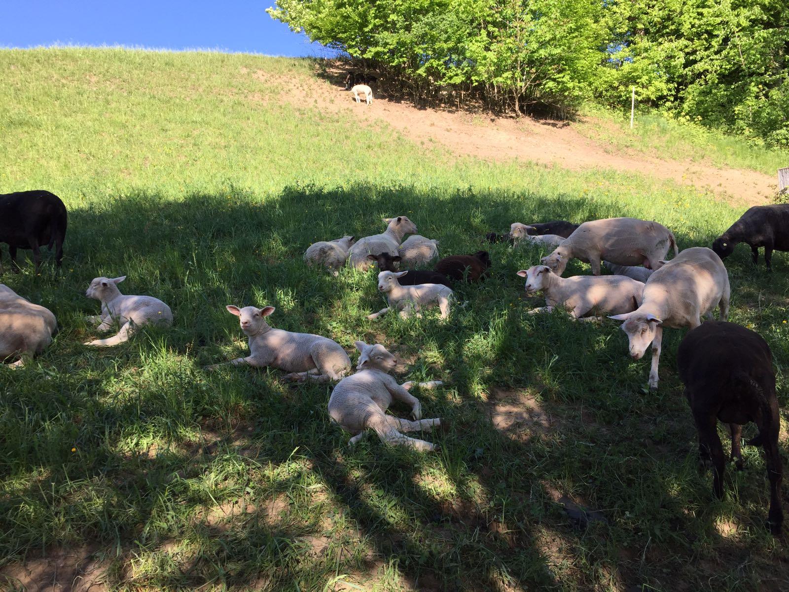 Schafe siesta im.schatten