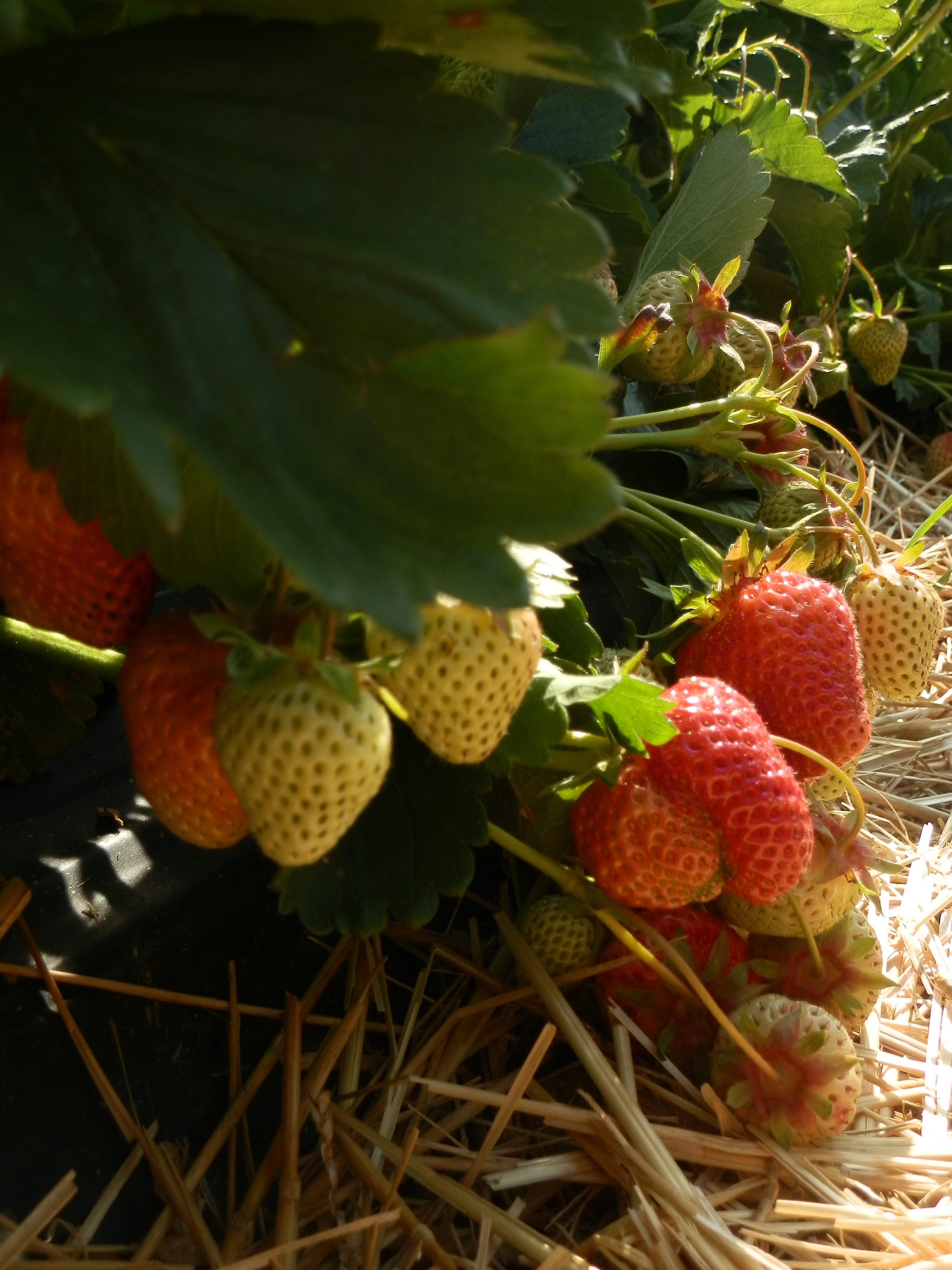 Erdbeeren Reihe