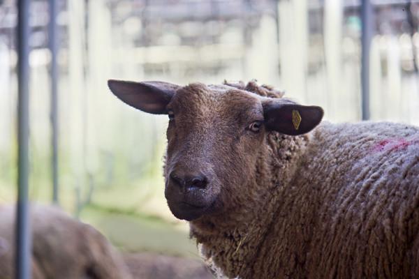 Braunes Schaf auf der Wiese