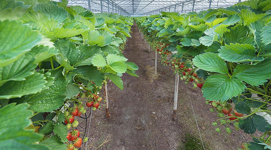 Erdbeeren auf Stellage